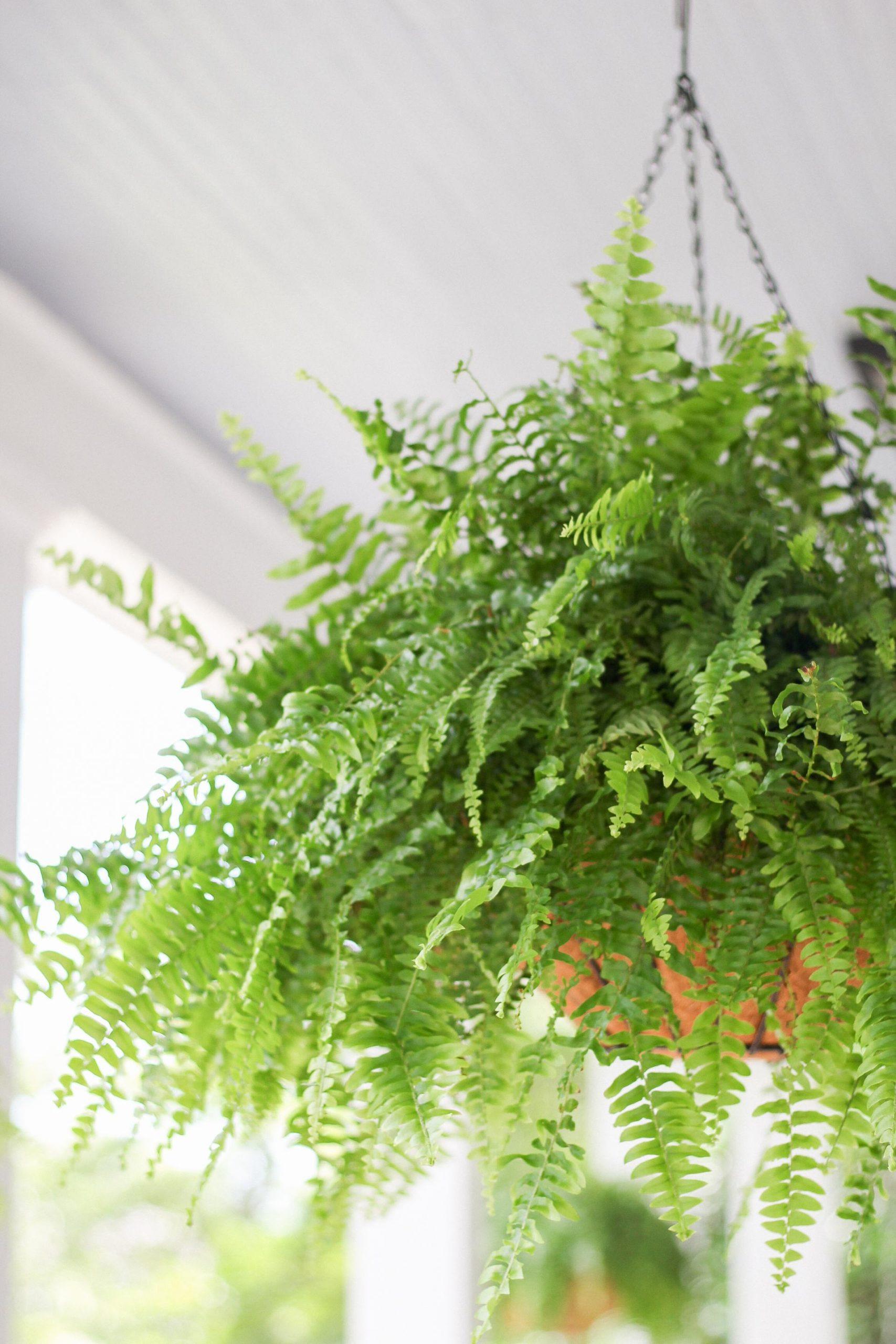 boston ferns in hanging baskets
