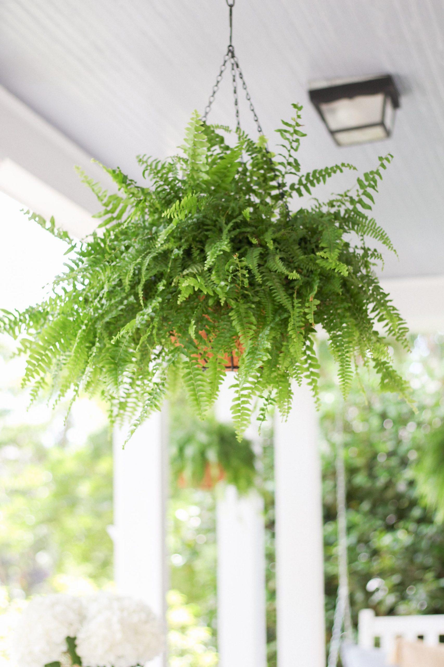 boston fern with hanging basket