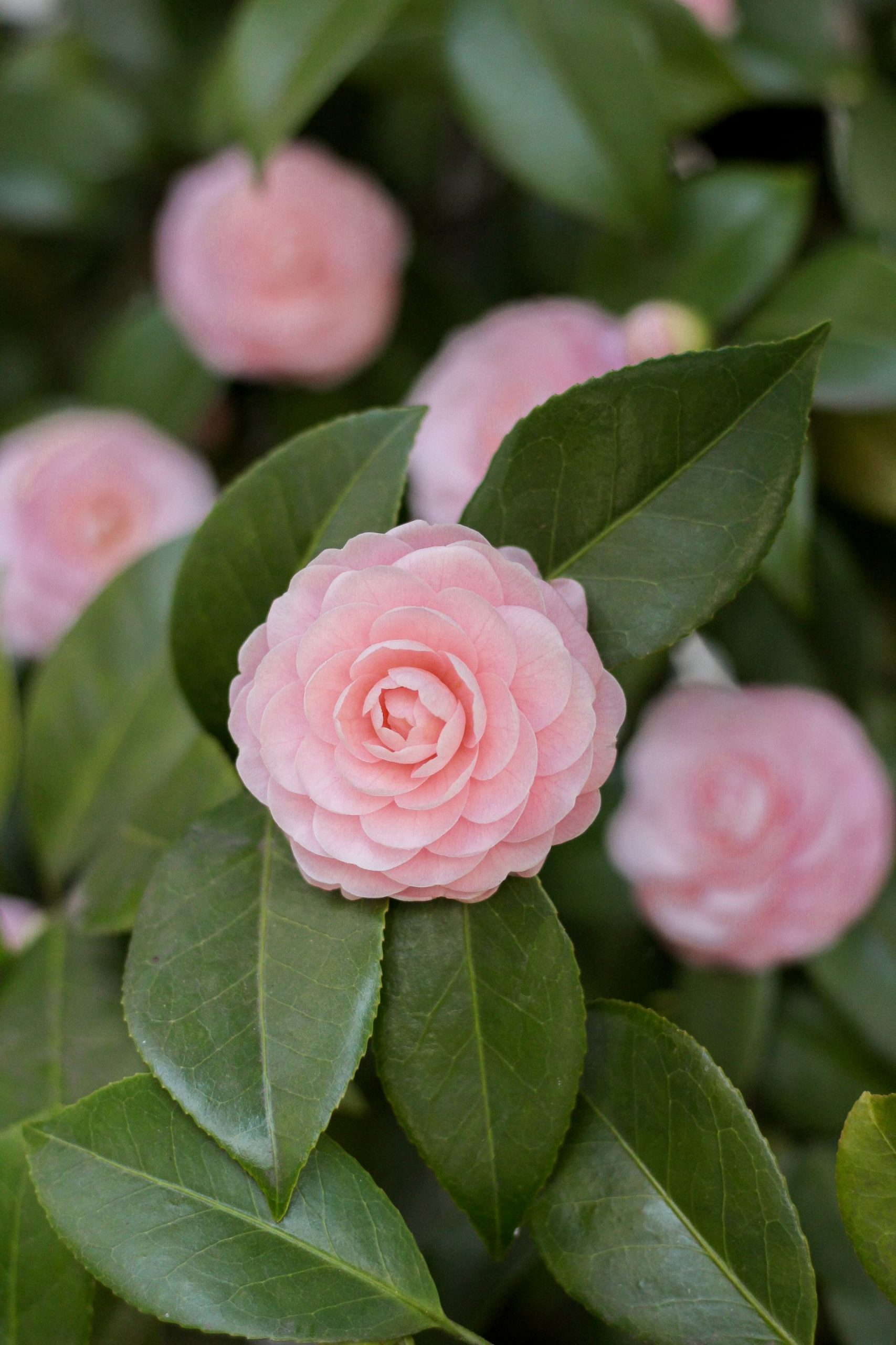 light pink perfection camellia