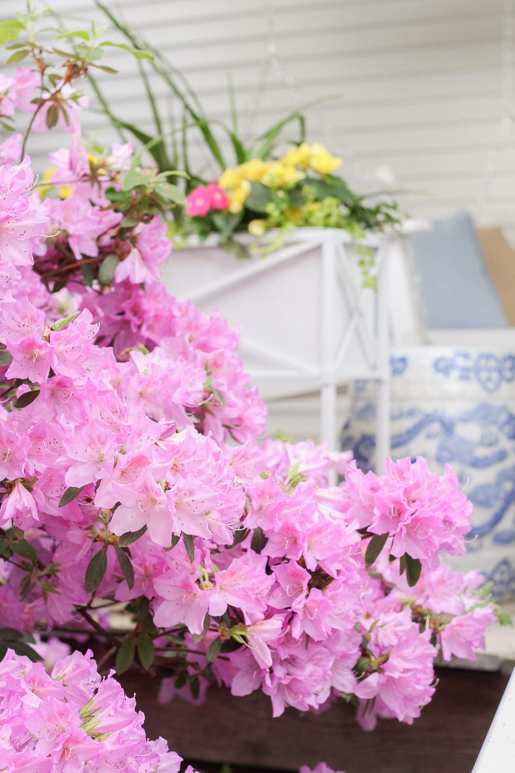 azaleas and flower boxes