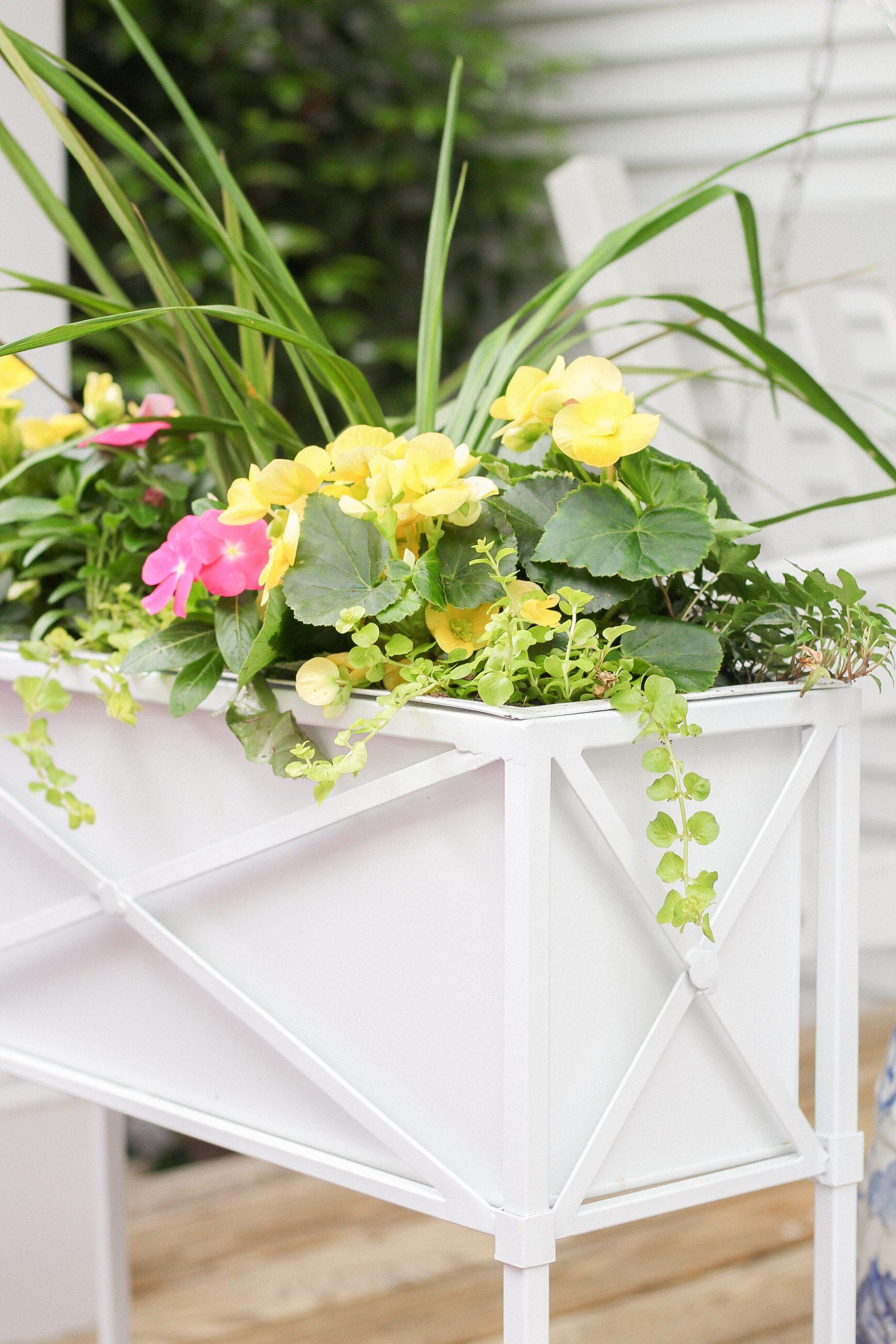creeping jenny flower box